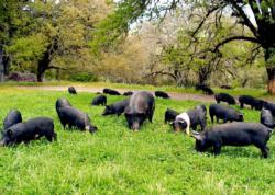 grazing under oaks_magruders